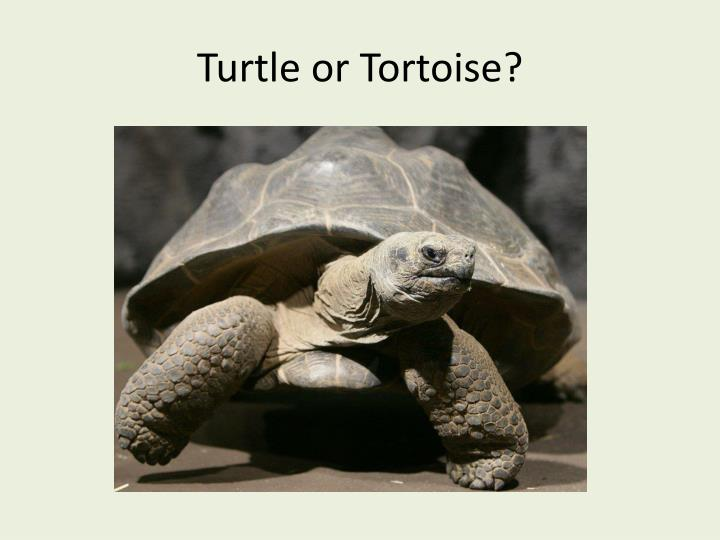 Turtle or Tortoise?