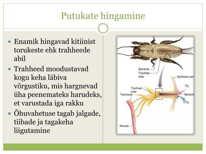 Putukate hingamine