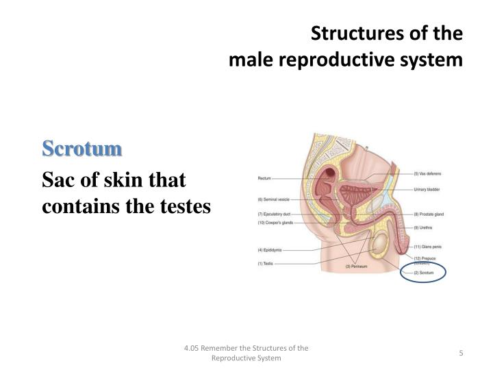 what male organ produces testosterone