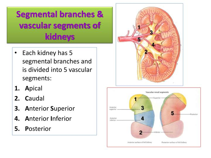 Segmental branches &