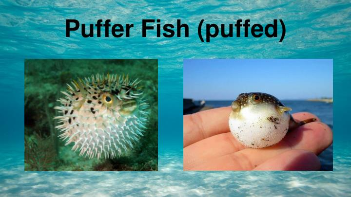 Ppt puffer fish tetraodontidae powerpoint for Puffer fish puffing