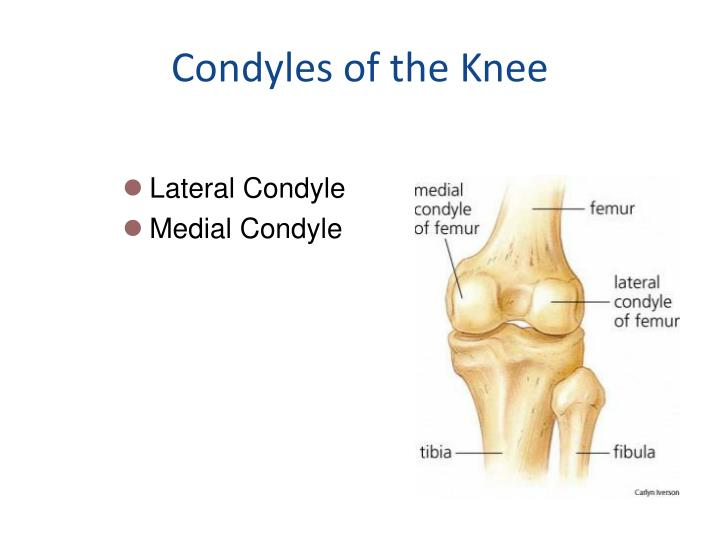 Condyles of the Knee