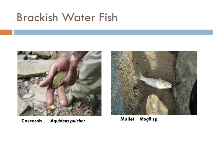 Brackish Water Fish