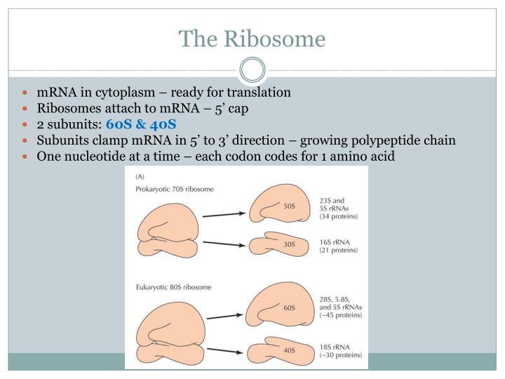 The Ribosome