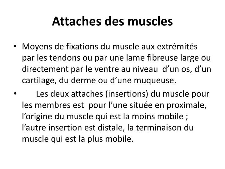 Attaches des muscles
