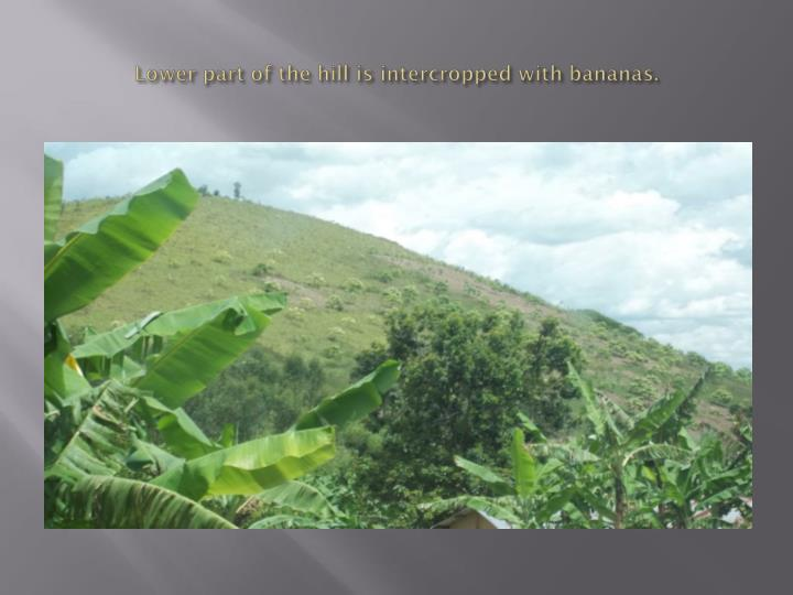 Lower part of the hill is intercropped with bananas.