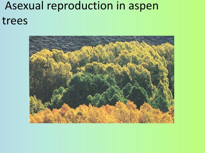 Asexual reproduction in aspen trees