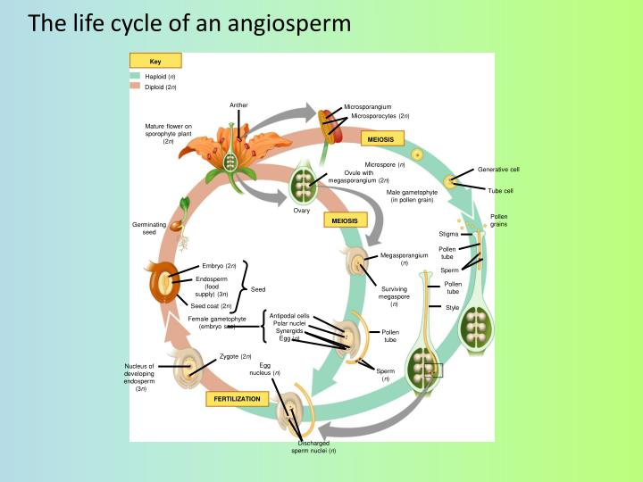 The life cycle of an angiosperm