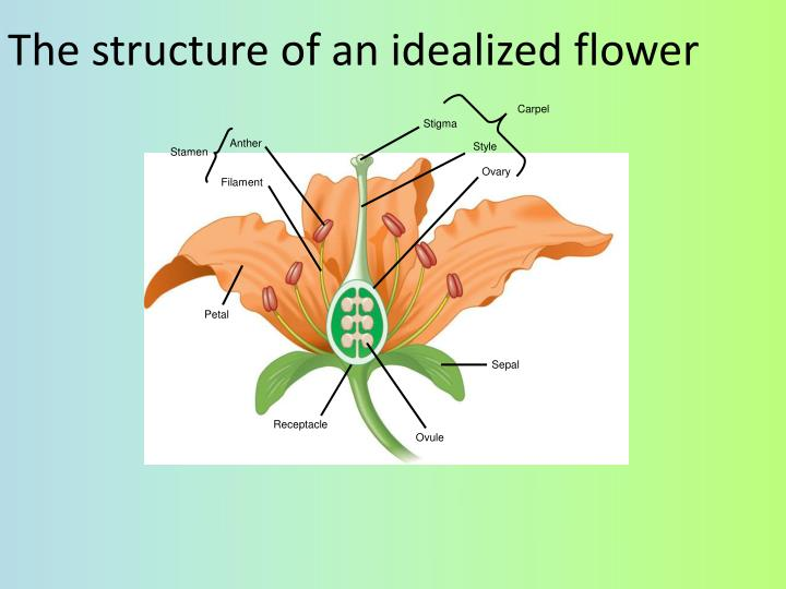 The structure of an idealized flower