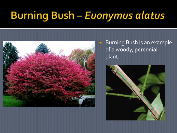Burning Bush –