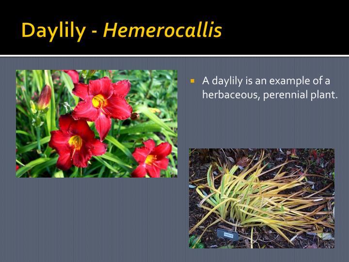 Daylily -