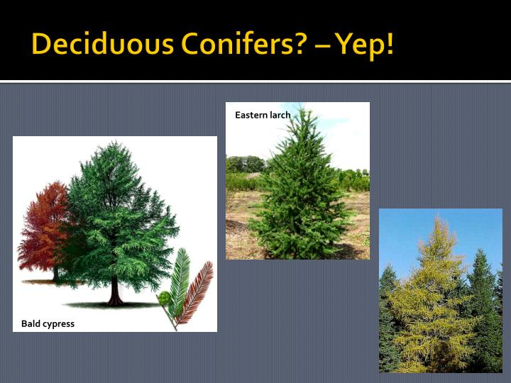 Deciduous Conifers? – Yep!