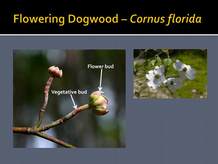 Flowering Dogwood –
