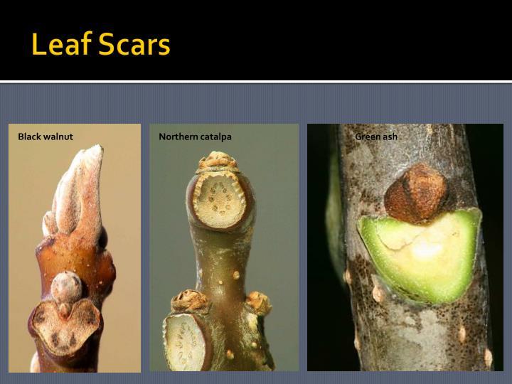 Leaf Scars