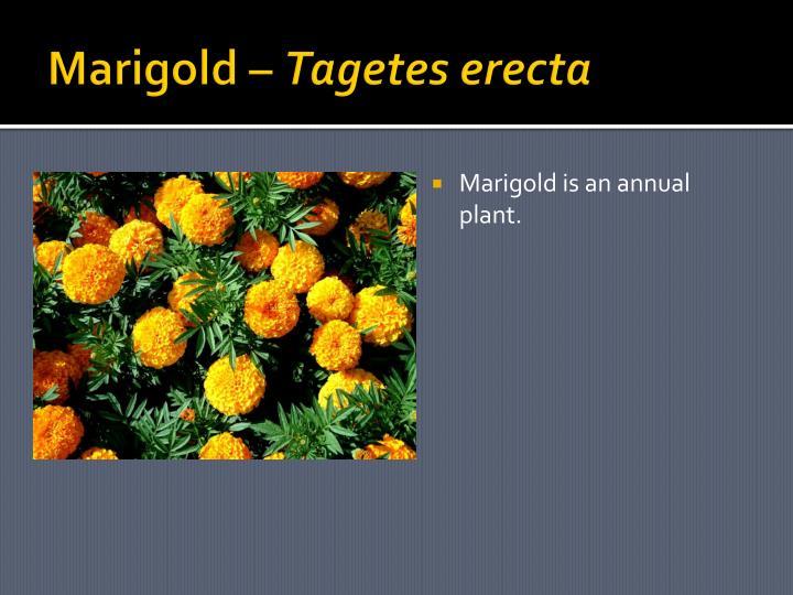 Marigold –
