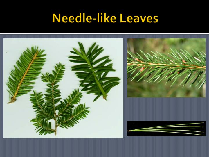 Needle-like Leaves