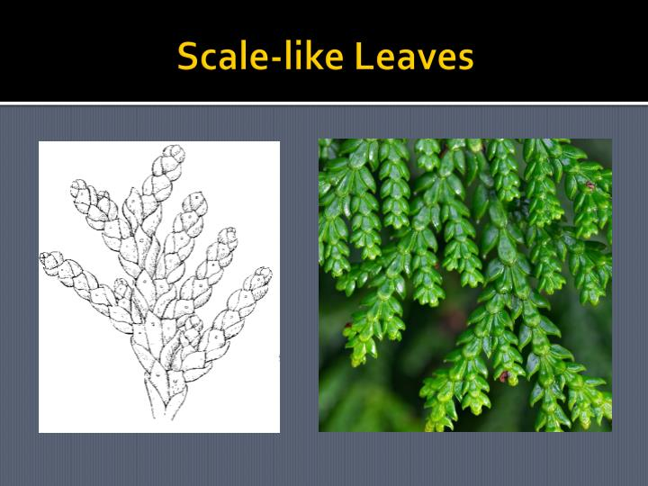 Scale-like Leaves