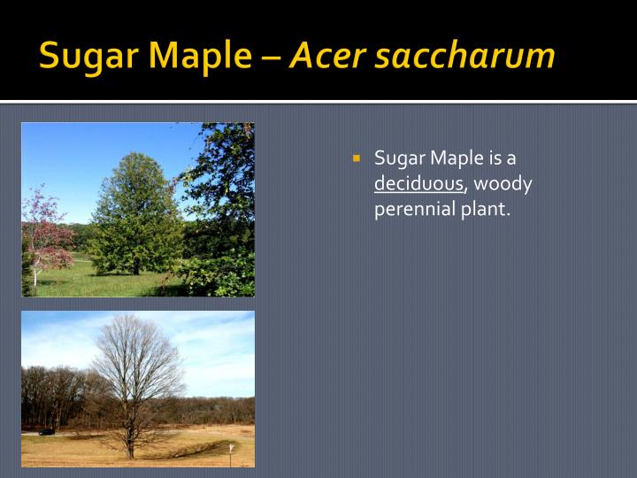 Sugar Maple –