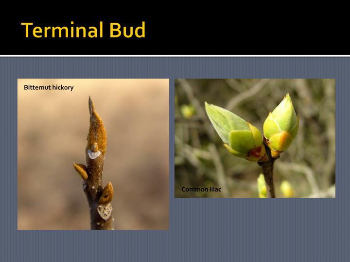 Terminal Bud