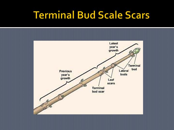Terminal Bud Scale Scars