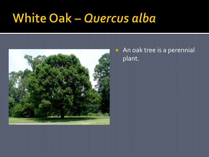 White Oak –
