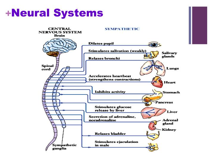Neural Systems