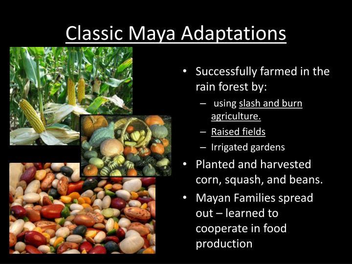 Classic Maya Adaptations