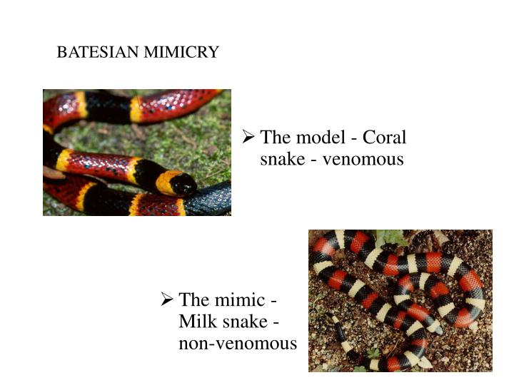 The mimic - Milk snake - non-venomous