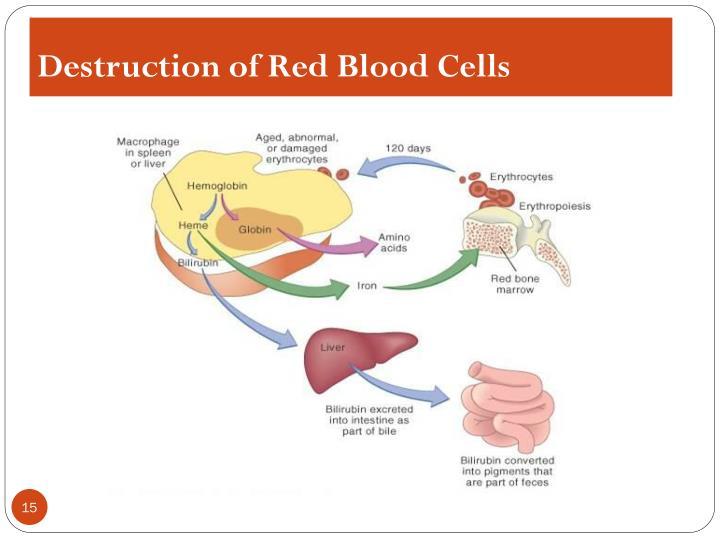 Destruction of Red Blood Cells