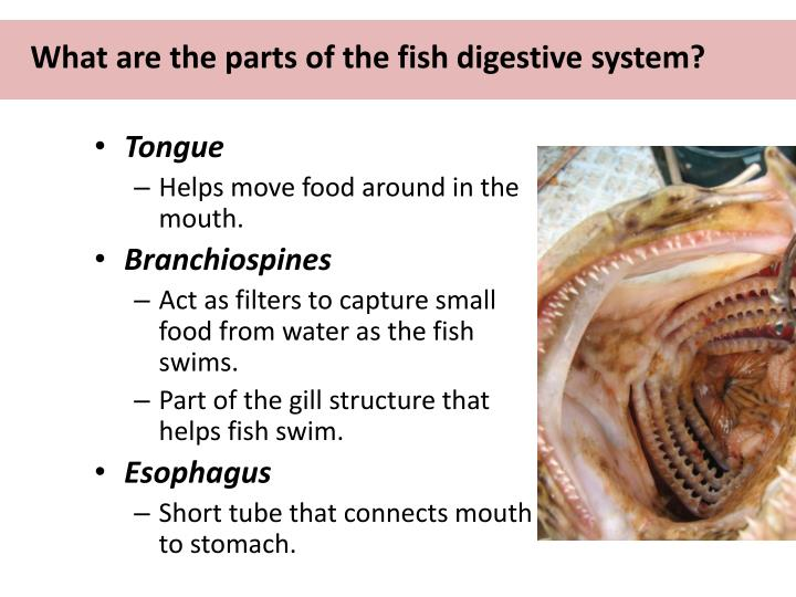 What are the parts of the fish digestive system?