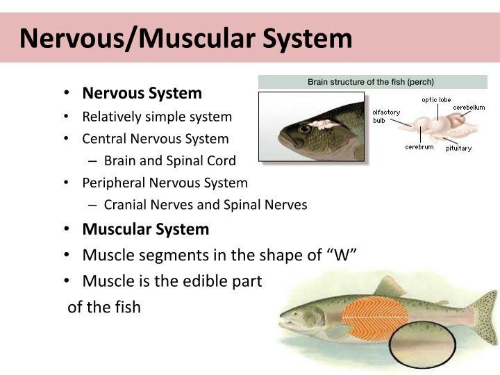 Nervous/Muscular System
