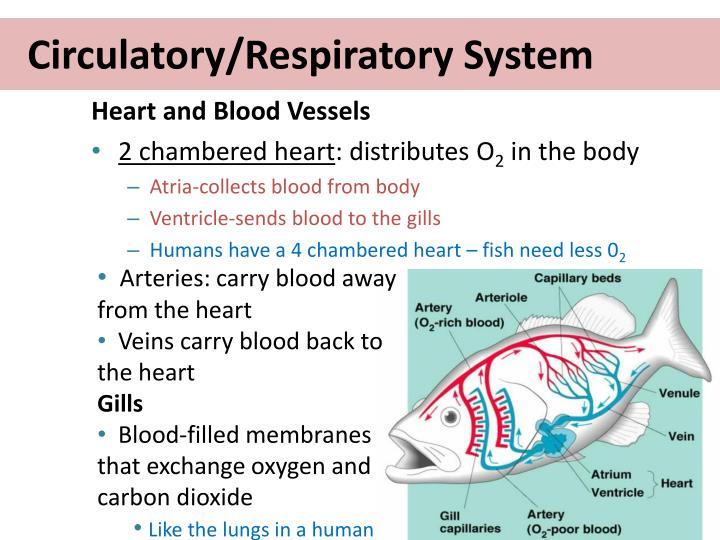 Circulatory/Respiratory System