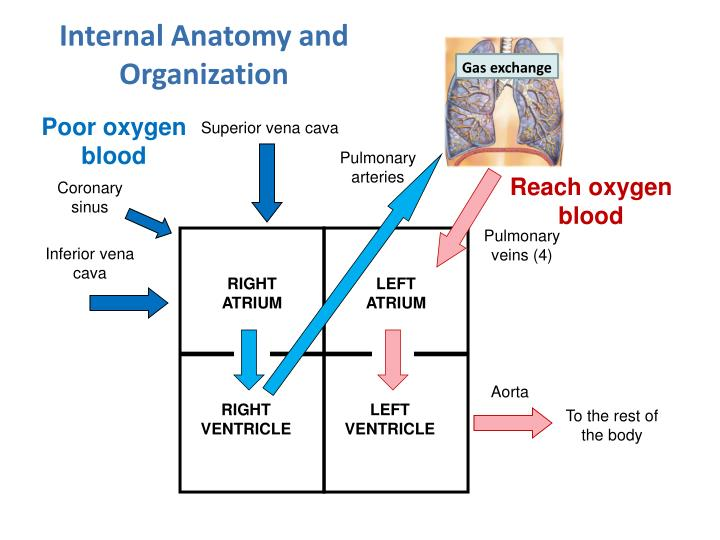 Internal Anatomy and Organization