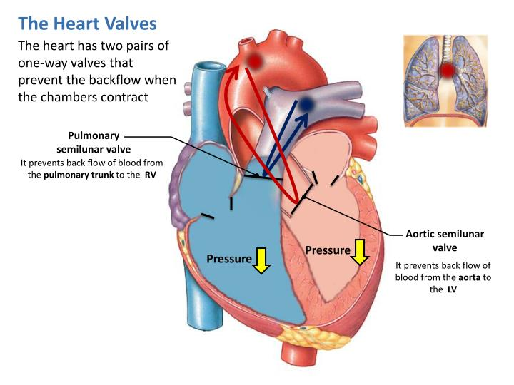 The Heart Valves