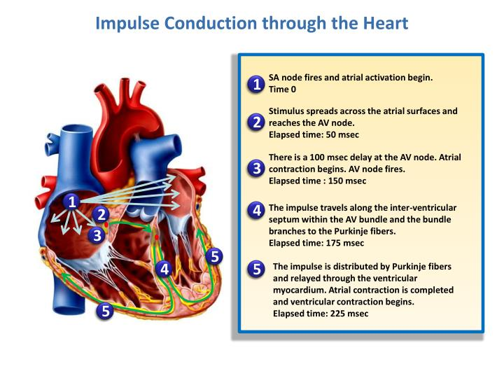 Impulse Conduction through the Heart