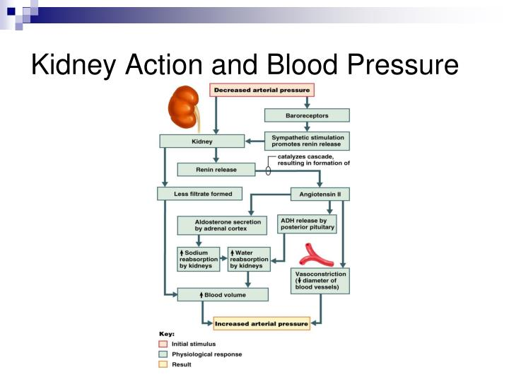 Kidney Action and Blood Pressure
