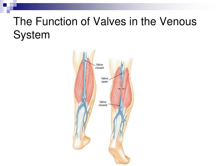 The Function of Valves in the Venous System