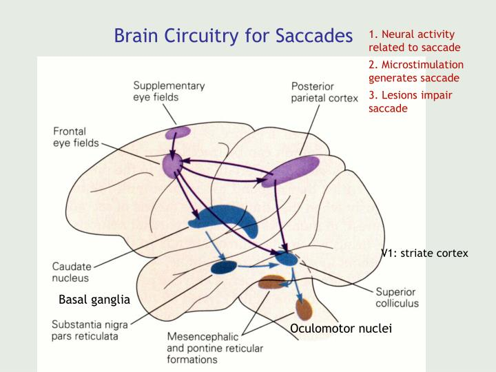 Brain Circuitry for Saccades