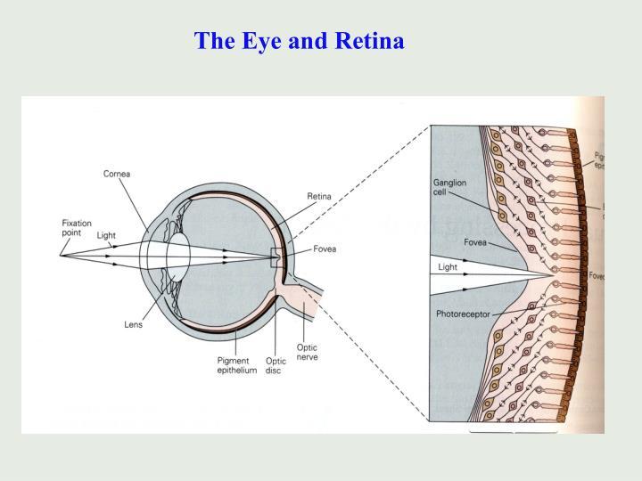 The Eye and Retina