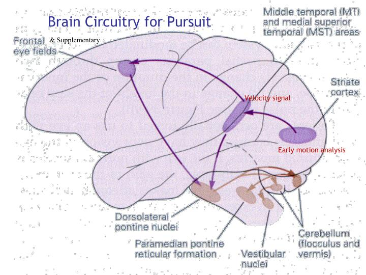 Brain Circuitry for Pursuit