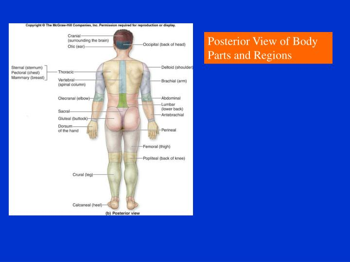 Posterior View of Body Parts and Regions