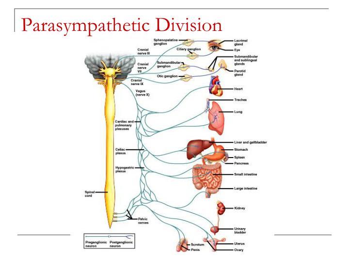 Parasympathetic Division