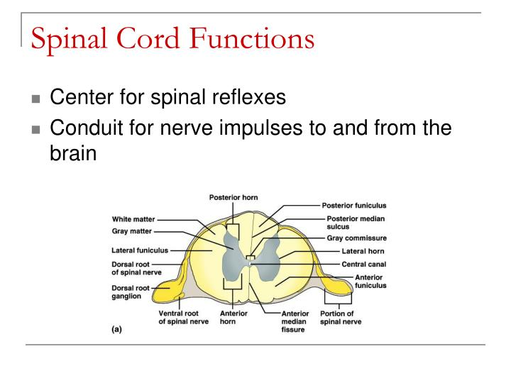 Spinal Cord Functions