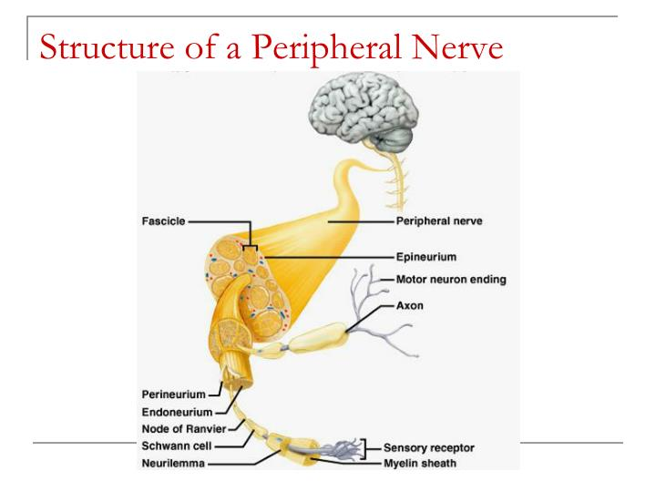 Structure of a Peripheral Nerve