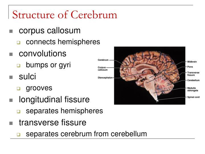 Structure of Cerebrum