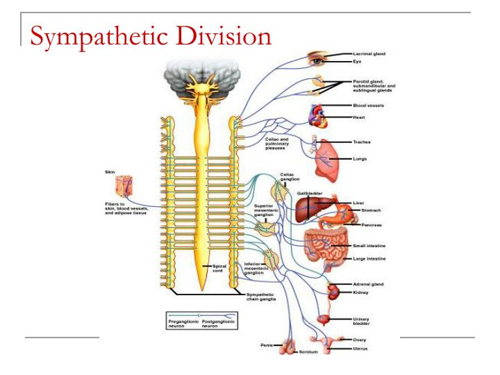 Sympathetic Division