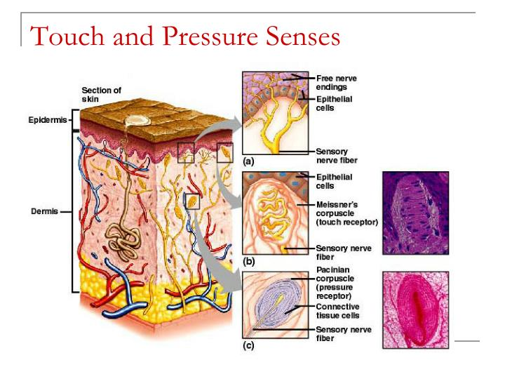 Touch and Pressure Senses