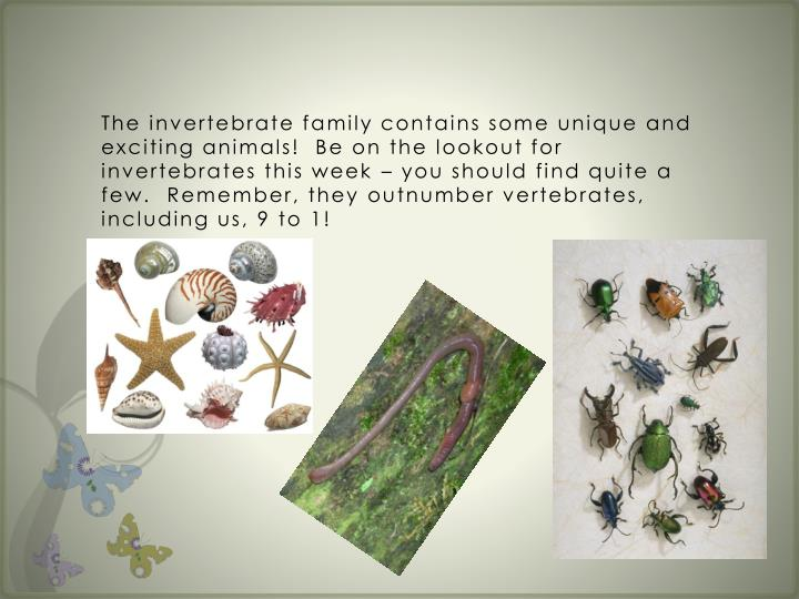 The invertebrate family contains some unique and exciting animals!  Be on the lookout for invertebrates this week – you should find quite a few.  Remember, they outnumber vertebrates, including us, 9 to 1!