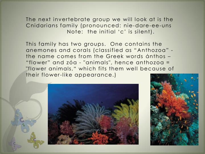The next invertebrate group we will look at is the Cnidarians family (pronounced:
