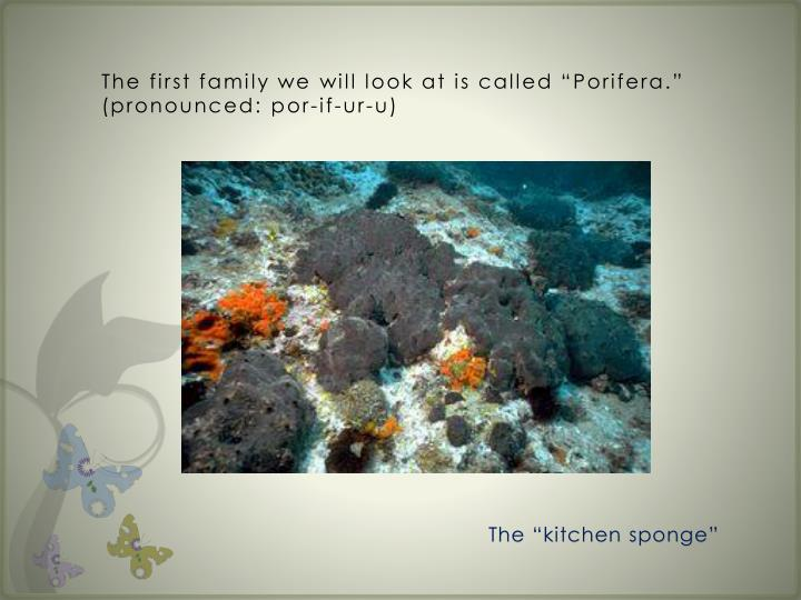 "The first family we will look at is called ""Porifera.""  (pronounced:"